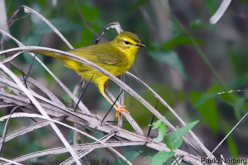 Myiothlypis flaveola<br /> Canário-do-mato<br /> Flavescent Warbler<br /> Arañero amarillo - Mboropi ju'i