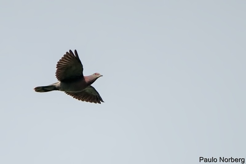 Patagioenas cayennensis<br /> Pomba-galega<br /> Pale-vented Pigeon<br /> Paloma colorada - Pykasu pytâ