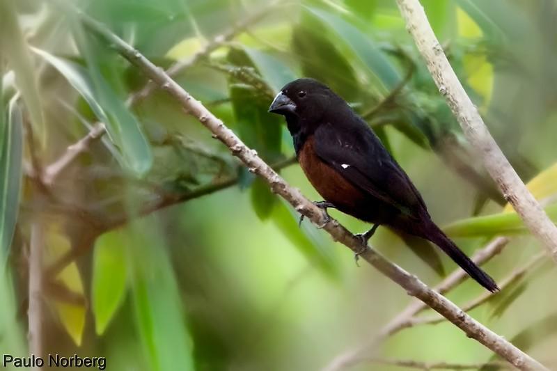 Sporophila angolensis<br /> Curió<br /> Chestnut-bellied Seed-Finch<br /> Arrocero castaño - Kurio