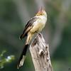 Guira guira<br /> Anu-branco<br /> Guira Cuckoo<br /> Piririta - Piririgua