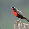 Sturnella superciliaris<br /> Polícia-inglesa-do-sul<br /> White-browed Blackbird<br /> Pecho colorado - Chopí tyvytá