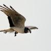 Circus buffoni<br /> Gavião-do-banhado<br /> Long-winged Harrier<br /> Gavilán planeador - Taguato vevyi