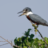 Megaceryle torquata<br /> Martim-pescador-grande<br /> Ringed Kingfisher<br /> Martín pescador grande - Javatî guasu