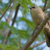 Agelaioides badius<br /> Asa-de-telha<br /> Grayish Baywing<br /> Músico - Chopî pytâ