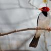 Paroaria capitata<br /> Cavalaria<br /> Yellow-billed Cardinal<br /> Cardenilla - Aka pytâ