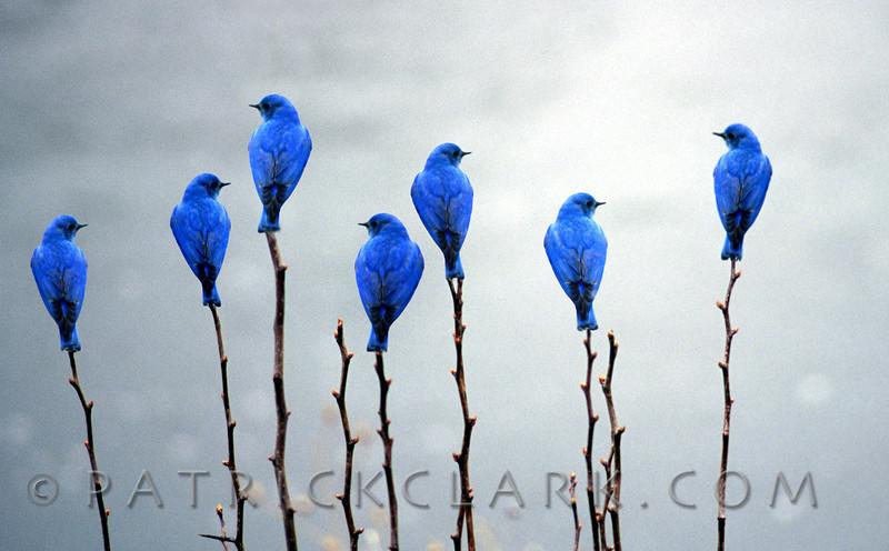 Bluebird Dream
