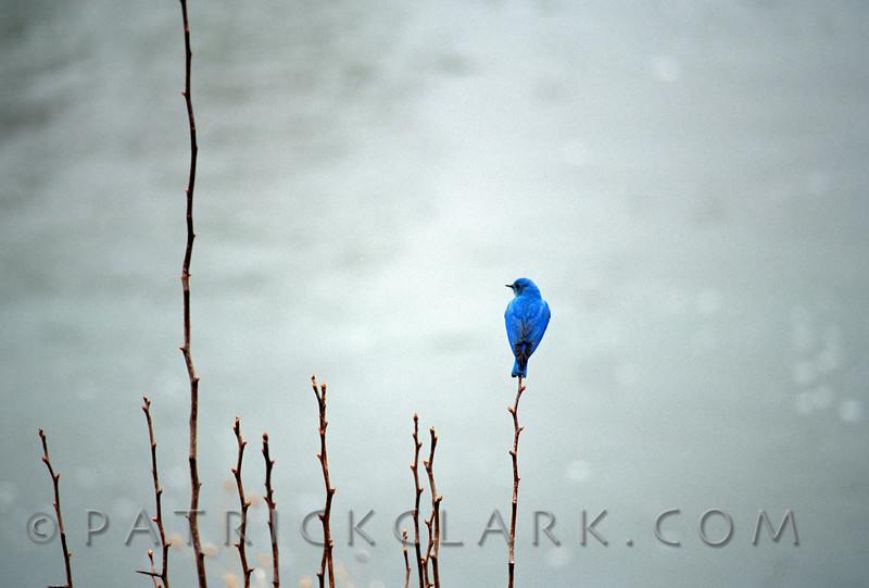 Lone Blue