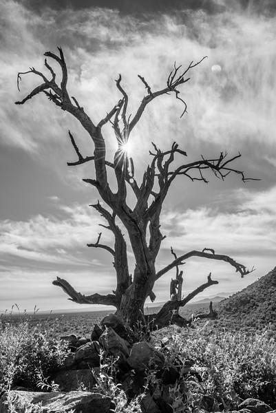 arizona ironwood