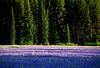 Blue Camas, Lolo Pass, Montana