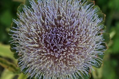 9508 Artichoke Blossom