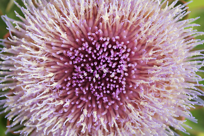 8962 Artichoke Blossom