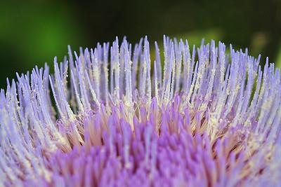 8888 Artichoke Blossom