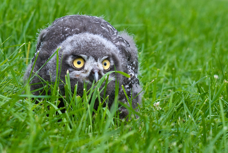 Baby Snowy Owl (Captive)