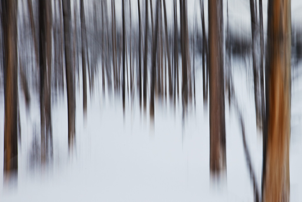 Lodgepole Pines in Snow - created in camera using a panning technique