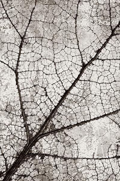 Vascular<br /> Skeleton of a leaf