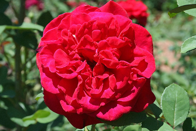Old Fashioned Red Rose 165