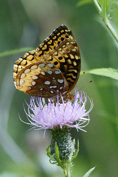 Great Spangled Fritillary 087b