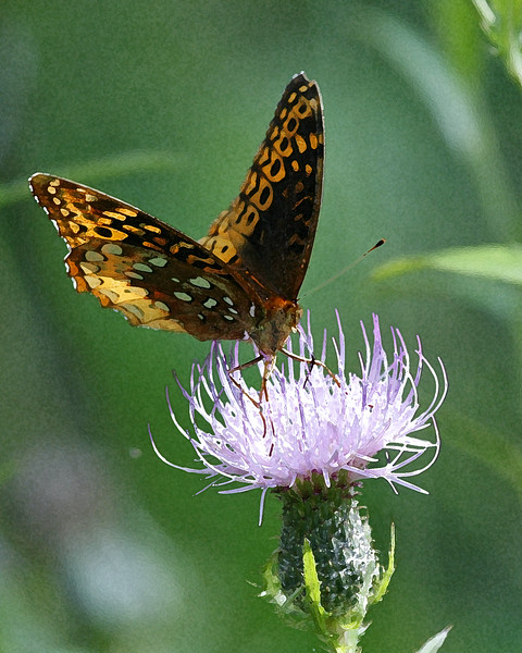 Great Spangled Fritillary 092