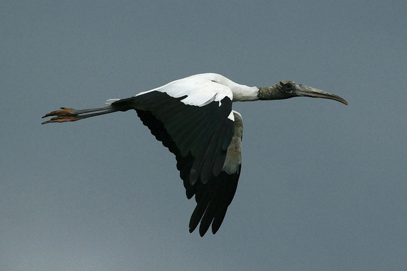 Wood stork flying.