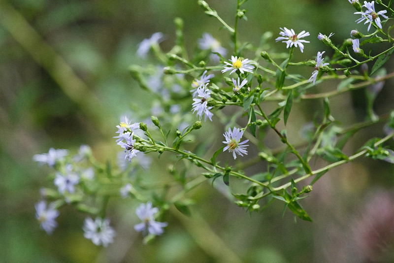 Wild Asters 157