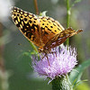 Great Spangled Fritillary 107b