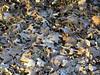 Winter leaves frozen, Wokingham 2005