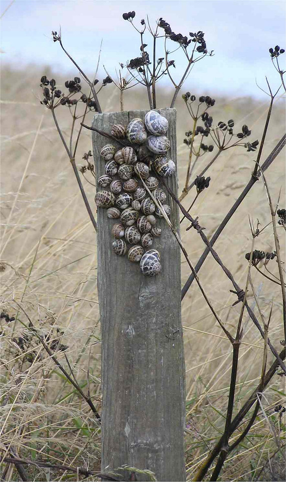 Snails on wood, Portland Bill Aug 2006