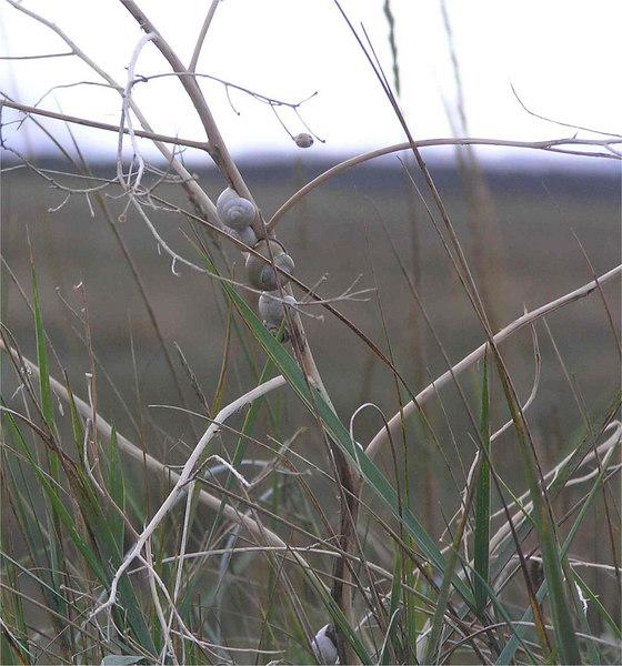 Snails on a twig Burry Port Sept 2006
