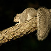 Delmarva Fox Squirrel Asateague NWLP