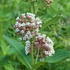 Asclepias syriaca, common milkweed; Yancey County, North Carolina 2016-06-29   6