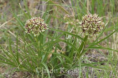 Asclepias asperula, Antelope Horn Milkweed; Brewster County, Texas 2014-07-27   10