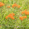 Asclepias tuberosa ssp tuberosa, butterfly weed; Murray County, Georgia 2016-05-29   4