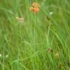 Asclepias lanceolata, Few-flower Milkweed; Hancock County, Mississippi 2016-05-20   5