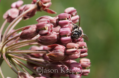 Asclepias amplexicaulis, Clasping Milkweed; Atlantic County, New Jersey  2013-06-13  #32