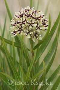 Asclepias asperula, Antelope Horn Milkweed; Brewster County, Texas 2014-07-27   2