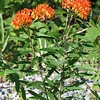 Asclepias tuberosa ssp tuberosa, butterfly weed; McCreary County, Kentucky 2016-08-03   1