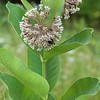 Asclepias syriaca, common milkweed; Gordon County, Georgia 2016-05-29   5