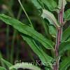Asclepias tuberosa ssp rolfsii, Rolph's milkweed; Taylor County, Georgia 2016-05-30   2