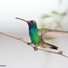 Broad-billed Hummingbird,  Ash Canyon B&B, 4/8/2016.