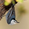 White-Breasted Nuthatch,  Ash Canyon B&B, 4/8/2016.