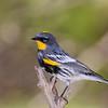 Yellow-Rump (Audubon's) Warbler,  Ash Canyon B&B, 4/9/2016.