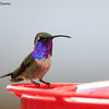 Lucifer Hummingbird,  Ash Canyon B&B, 4/8/2016. Just couldn't get him off the feeder.