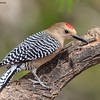 Gila Woodpecker,  Ash Canyon B&B, 4/8/2016.
