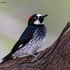 Acorn Woodpecker,  Ash Canyon B&B, 4/8/2016.