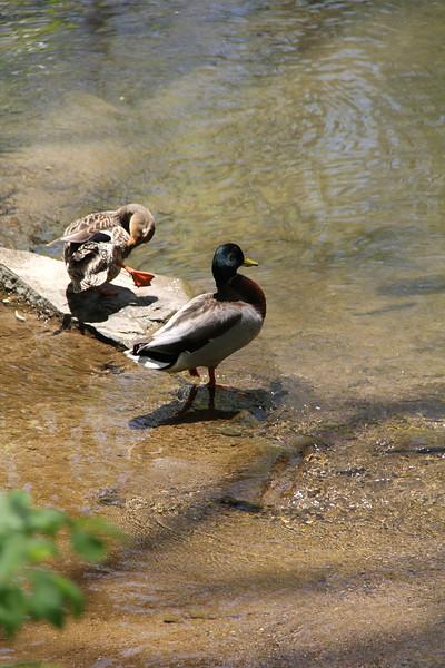 duck pair in the creek