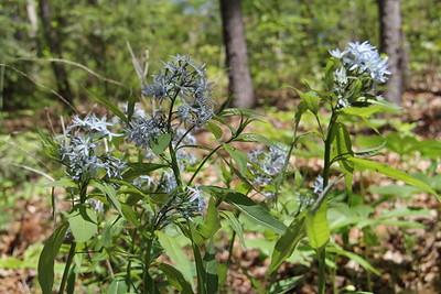 blue star amsonia