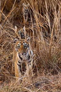 Tiger Cubs in the Grass