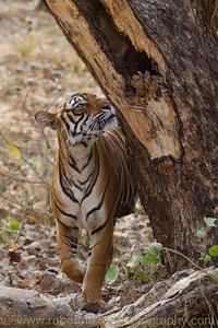 Female Royal Bengal Tiger checks her territory.