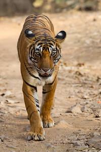 Royal Bengal Tiger at Ranthambhore  NP