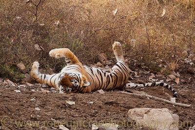 Male Royal Bengal Tiger relaxes.
